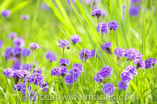 Australian wildflower photos images pictures australian wildflowers photo mightylinksfo