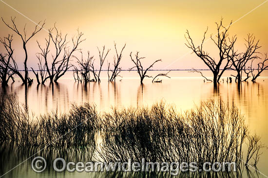 Scenic landscape showing dead River Red Gums (Eucalyptus camaldulensis), silhouetted on Lake Menindee during dusk sunset. Photo taken in the outback near Broken Hill, New South Wales, Australia. Photo - Gary Bell