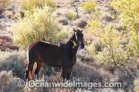 Wild horses feeding in outback