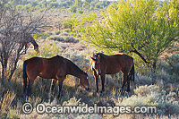 Wild Horses in outback Australia photo
