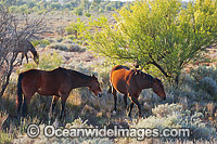 Horses in outback Australia photo