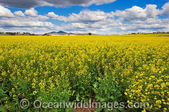 Field of Canola, photographed near Gunnedah, New South Wales, Australia. Photo - Gary Bell