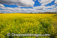 Field of Canola Gunnedah