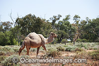 Feral Camels Australia Photo - Gary Bell