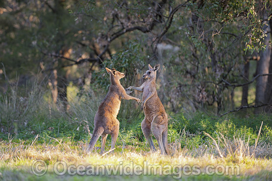 Eastern Grey Kangaroo (Macropus giganteus), two large males boxing. Photo taken at the Warrumbungle National Park, New South Wales, Australia. Photo - Gary Bell