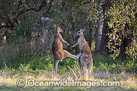 Kangaroo males boxing Photo - Gary Bell