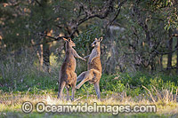 Kangaroo males boxing photo