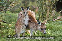 Kangaroo mother with joey Photo - Gary Bell