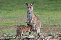 Kangaroo joey drinking milk Photo - Gary Bell