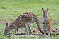 Australian Kangaroo with Mother Photo - Gary Bell