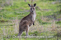 Australian Kangaroo Photo - Gary Bell