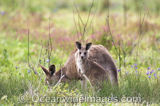 Eastern Grey Kangaroo (Macropus giganteus), mother with joey. Photo taken at the Warrumbungle National Park, New South Wales, Australia. Photo - Gary Bell