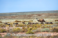 Emu adult male with chicks Photo - Gary Bell