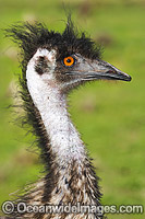 Emu head shot Photo - Gary Bell