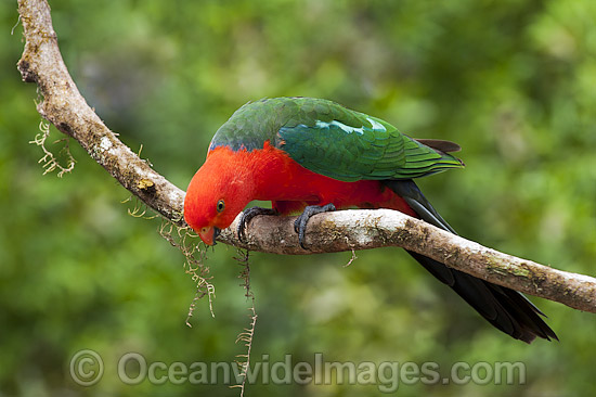 Australian King Parrot (Alisterus scapularis), male. Found in rainforests, eucalypt forests and palm forests of south-eastern Australia. Photo taken at Coffs Harbour, New South Wales, Australia. Photo - Gary Bell
