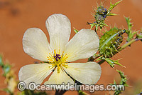 Wildflowers outback Australia image