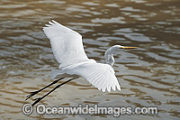 Great Egret flying Photo - Gary Bell