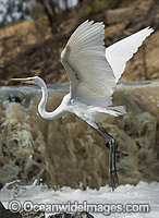 Great Egret flying photo