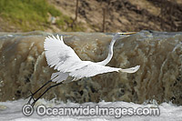 Great Egret Darling River photo