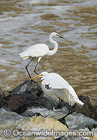 Great Egrets Darling River photo