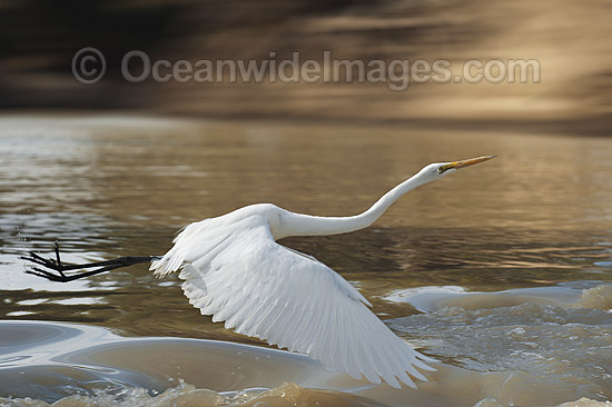 Great Egret (Ardea alba). Found around wetlands, flooded pastures, rivers, estuaries, mangroves and reefs throughout Australia. Photo taken on the Darling River, near Menindee, New South Wales, Australia. Photo - Gary Bell