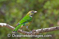 Green Catbird Ailuroedus crassirostris photo