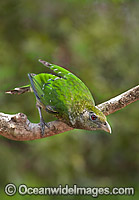 Green Catbird (Ailuroedus crassirostris). Found throughout south-eastern Queensland and eastern New South Wales, Australia, in sub-tropical and sub-temperate rainforests. Also found occasionally near eucalypt forests and paperbark forests. Photo: Gary Bell