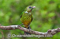 Australian Green Catbird photo