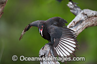 White winged Chough Corcorax melanorhamphos Photo - Gary Bell