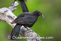 Chough Corcorax melanorhamphos Photo - Gary Bell