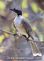 Noisy Friarbird Philemon corniculatus Photo - Gary Bell