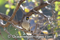 Noisy Miner Manorina melanotis Photo - Gary Bell