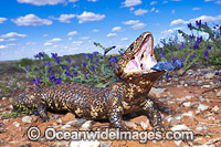 Shingle-back Lizard displaying blue tonue Photo - Gary Bell