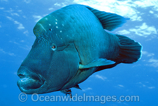 Napolean Wrasse (Cheilinus undulatus) with Remora Suckerfish (Remora remora) attached. Also known as Humphead Maori Wrasse, Giant Wrasse, Double-headed Maori Wrasse. Great Barrier Reef, Queensland, Australia. Classified Endangered IUCN Red List. Photo - Gary Bell