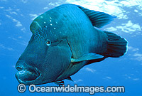 Napolean Wrasse Humphead Maori Wrasse photo