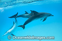 Atlantic Spotted Dolphin group Photo - Vanessa Mignon