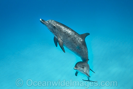 Atlantic Spotted Dolphin (Stenella frontalis), mother with calf. Found throughout the Gulf Stream of the North Atlantic Ocean. Photo taken in Bahamas, Caribbean Sea, Atlantic Ocean. Photo - Vanessa Mignon