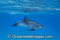 Atlantic Spotted Dolphin calf Photo - Vanessa Mignon