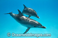 Atlantic Spotted Dolphin mother with calf Photo - Vanessa Mignon