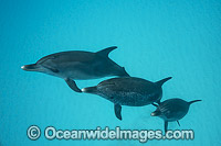 Atlantic Spotted Dolphin Photo - Vanessa Mignon