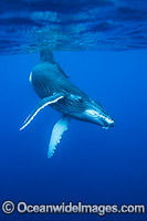 Humpback Whale underwater photo