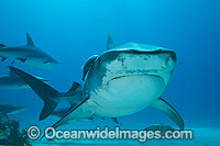 Tiger Shark with Suckerfish attached photo