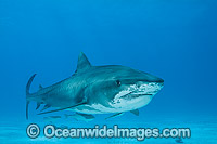 Tiger Shark with Suckerfish
