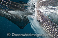 Whale Shark feeding on fish from net