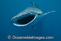 Whale Shark Photo - Vanessa Mignon