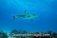 Caribbean Reef Shark Photo - Vanessa Mignon