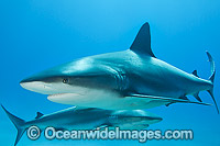 Caribbean Reef Sharks Photo - Vanessa Mignon