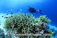 Scuba Diver exploring Coral reef photo