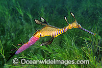 Weedy Seadragon with eggs attached