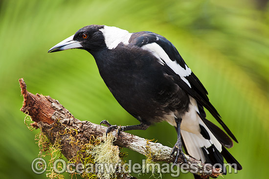 Black-backed Magpie (Gymnorhina tibicen). Also known as Australian Magpie. Found throughout Australia, but with regional colour variation (White-back and Blackback being most common). Photo taken at Coffs Harbour, NSW, Australia. Photo - Gary Bell